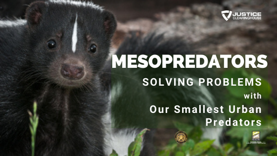 What are Mesopredators? Taking a Deeper Look at Solving Problems with Our Smallest Urban Predators